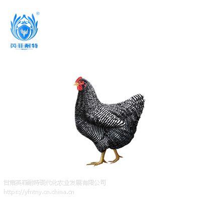 英菲耐特野生态山养无抗鸡 芦花鸡 1000g 诚招全国销售代理
