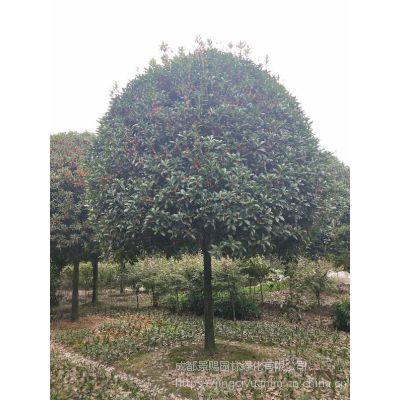 10公分丹桂报价以及做风景树的图片 丹桂与桂花树的区别