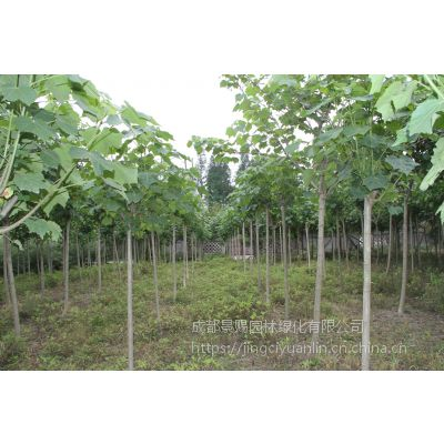 10公分好树形木芙蓉图片以及报价 落叶型观花乔木风景树行道树均可