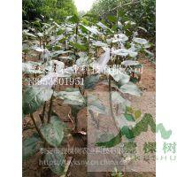 壹棵树农业 专业苹果树苗基地 苹果树苗种苗 品种齐全
