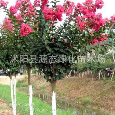 紫薇花苗美国红火箭红火球红花紫薇树苗盆栽 庭院绿化苗木 百日红