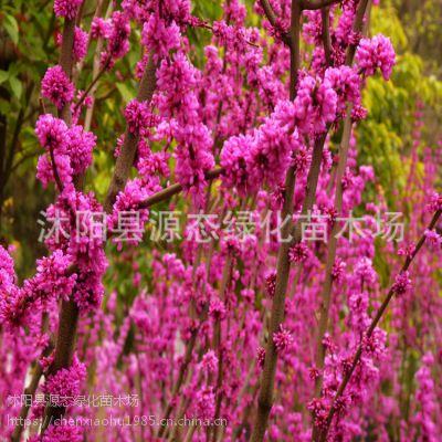 批发直销 包成活 紫荆 满条红 园林植物 花色鲜艳 乔木 行道树