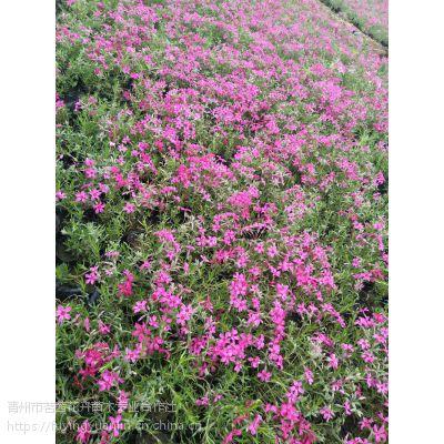 适合做花海的花有哪些种类,宿根花卉种类,芝樱花花海设计施工养护