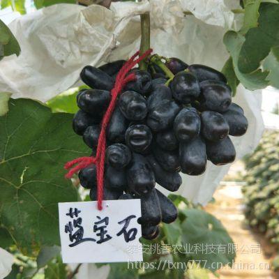 泰安蓝宝石葡萄苗,山东甜蜜蓝宝石葡萄苗零售价