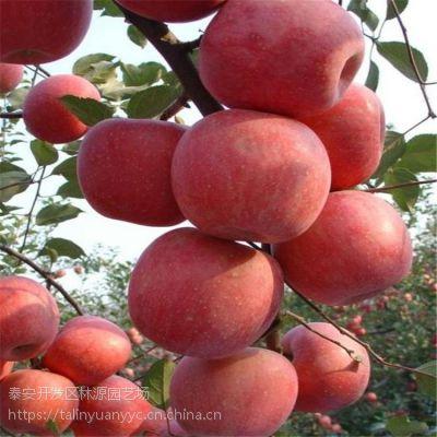 苹果苗供应 烟富系列 红将军 M26矮化苹果苗 柱状苹果苗量大从优