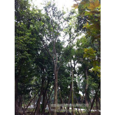 大量出售各规格朴树 20-25公分好树形朴树规格以及报价