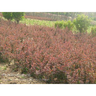供应优质红叶小檗苗 紫叶小檗工程苗 工程道路小区绿化 彩色苗木