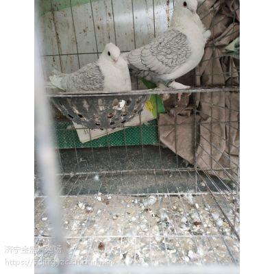 特大精品元宝鸽价格元宝鸽一只有多重