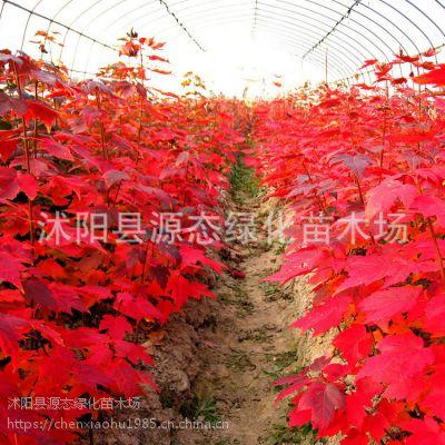 供应红枫批发 工程绿化 风景树 护坡绿化 量大优惠
