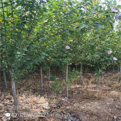 山东木槿基地木槿价格表木槿绿化苗木