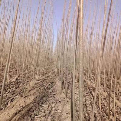 速生杨树苗107速生杨107杨树苗种植种条-临清绿源一年生苗圃生产