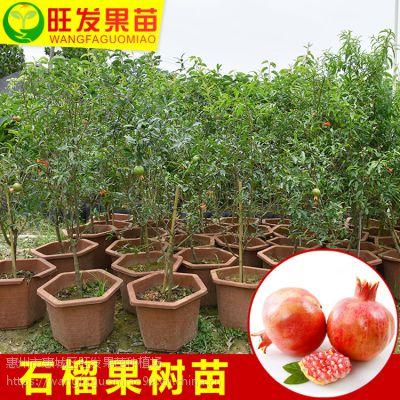 正宗石榴树苗盆栽地栽 南北方种植石榴果树苗 品种正宗优质