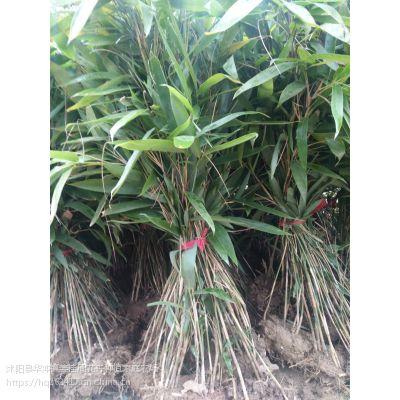 箬竹价格1米高箬竹价格1.2米高箬竹批发价格