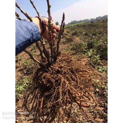 园林牡丹、观赏牡丹种植、菏泽牡丹花苗报价