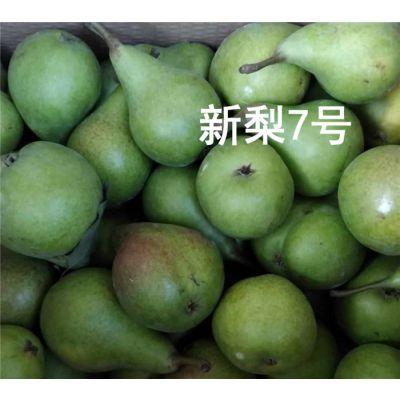 秋月梨苗-江苏梨苗-泰安泰丰源农场