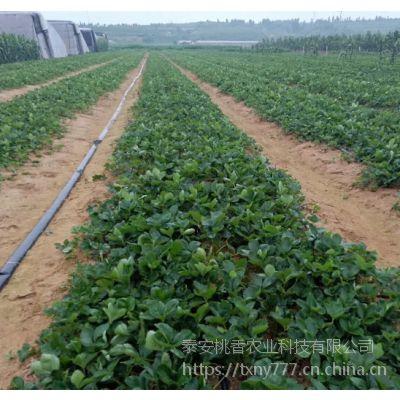 山东甜宝草莓苗价格 甜宝草莓苗批发基地