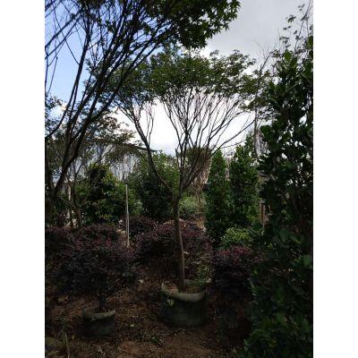 贵州红枫树价格,21公分红枫容器苗枝叶稠密