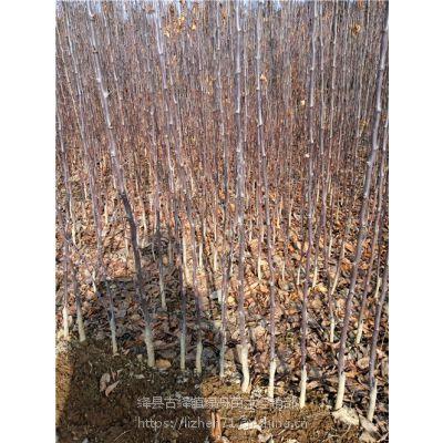 供应绿舟苗木短枝矮化红富士苹果苗8公分苹果树5公分果树种植适应性好