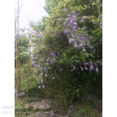 大量供应一批紫藤基地,出售2米长的紫藤批发工程苗