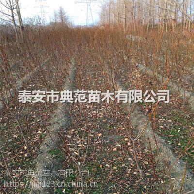 黑宝石李子苗多少钱一棵 黑宝石李子苗品种介绍
