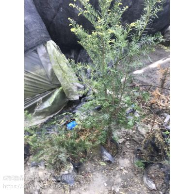 出售上万盆红豆杉小苗,高度1米以上,红豆杉批发种植产地