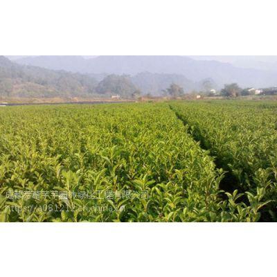 全国大量批发山茶,及其他草坪苗木等品种齐全
