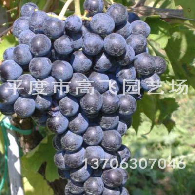 赤霞珠葡萄苗 酿酒葡萄苗出售 基地批发