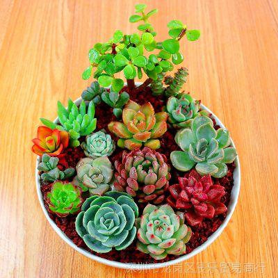 室内办公室新手套餐老桩多肉绿植花清仓包邮一元多肉植物组合盆栽