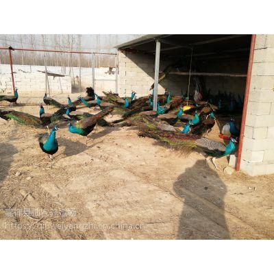 孔雀养殖的前景如何 怎样养殖孔雀苗