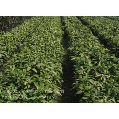 全国大量批发洒金,及其他草坪苗木等品种齐全