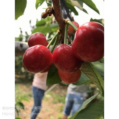 新品种樱桃苗 奇早樱桃苗 矮化樱桃苗 矮化樱桃苗基地 奇早樱桃苗价格