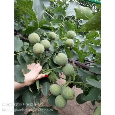 批发产量高,好管理的核桃树苗,抗病强,矮化品种!