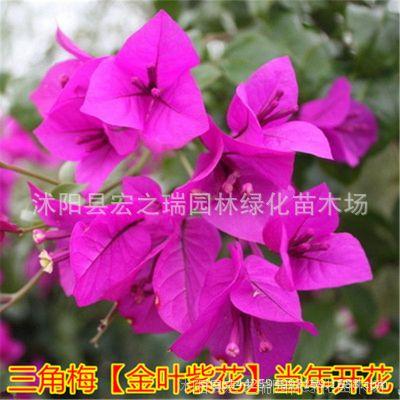 金叶紫花三角梅花卉盆栽三角梅大苗树苗室内外阳台庭院爬藤植物