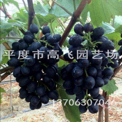 摩尔多瓦葡萄苗 秋黑 黑提 葡萄苗价格 晚熟葡萄品种