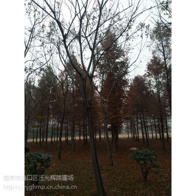 江苏南京17公分栾树多少钱一棵?