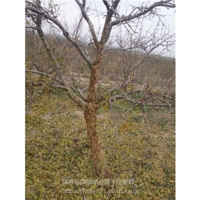 绿舟苗木出售8公分石榴树,核桃树,樱桃树12公分石榴树上车价格,枣树,核桃树苗,梨树苗上车价格
