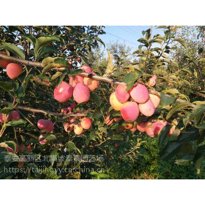 锦绣海棠果苗,苹果树苗优质保真