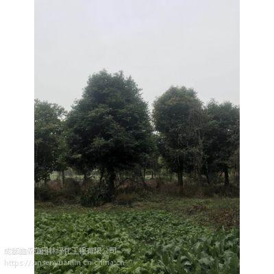 种植基地的天竺桂出售,10公分天竺桂价格是多少,常绿苗木