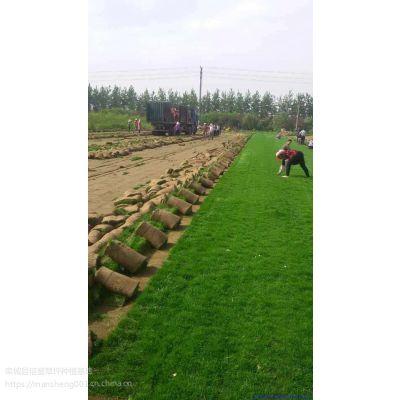 混播草皮基地|早熟禾草坪|草坪肥料