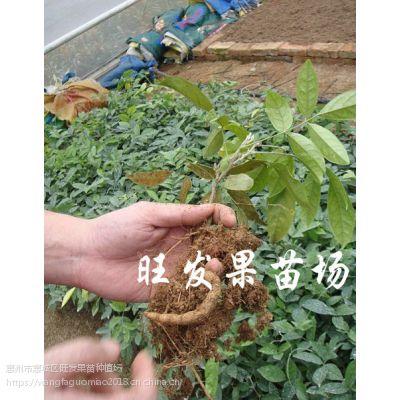 大量供应牛大力苗批发种子苗牛大力薯苗保健药材 抗寒品种可盆栽地栽苗 品种正宗 量大价优