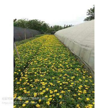 全国大量批发木春菊,及其他草坪苗木等品种齐全