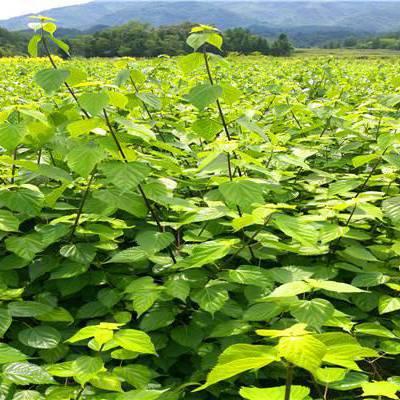供应湖北利川高60-80厘米高神豆腐观音豆腐树臭黄荆种苗