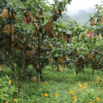 大量梨子批发价格优惠到冰点 欢迎水果商前来面谈