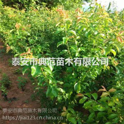 李子树苗多少钱一棵 李子树苗品种介绍