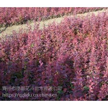 山东青州丽都 红叶小檗小苗基地 红叶小檗产地 价格