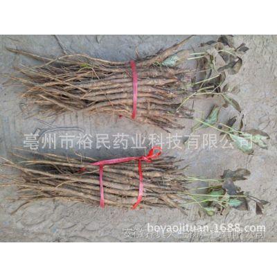 产地货源牡丹苗一年苗 油用牡丹种苗价格 牡丹苗批发 基地直供