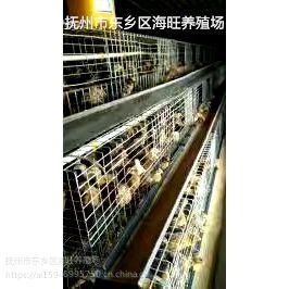 正宗东乡海旺土鸡高产绿壳蛋鸡苗