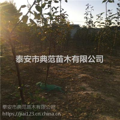 占地梨树价格 占地梨树多少钱一棵