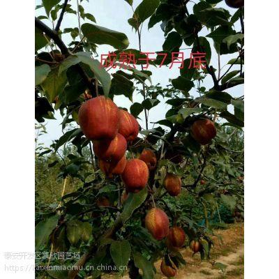 红香蜜梨苗2018年价格 1公分红香蜜梨苗报价