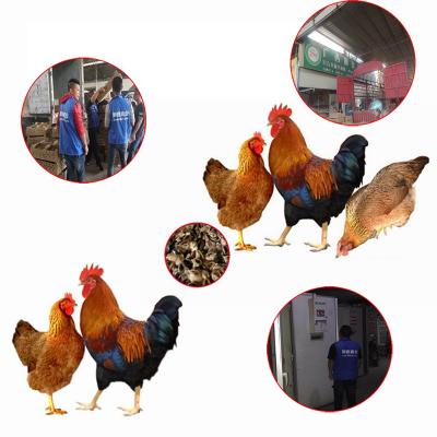 鸡苗孵化场地址在那 土鸡苗今日什么价格 鸡苗怎么预防 土鸡苗市场地址